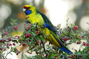 _DSC2243_green_rosella_eating_berries