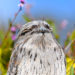 Tawny frogmouth in the garden